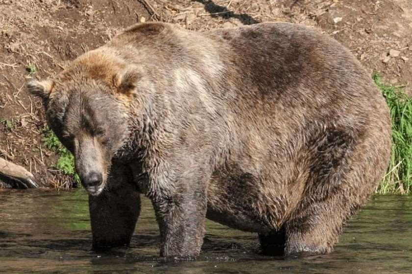ოტისი დათვი